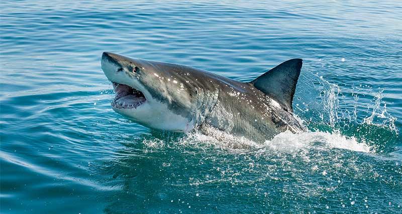 Ανθρώπινο χέρι εντοπίστηκε στην κοιλιά καρχαρία